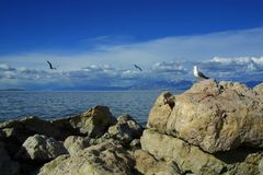 Seagull watching others' flight. A lone land-bound seagull watches two other seagulls in flight on Antelope Island in the Great Salt Lake near Syracuse, Utah Stock Photo
