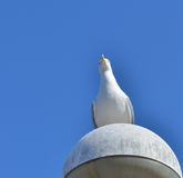 Seagull watching the photographer Royalty Free Stock Photo