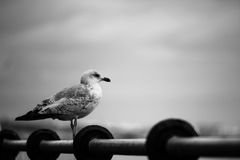 Seagull watching the Sea Royalty Free Stock Images