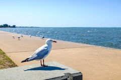 Seagull watching the Shore Stock Image