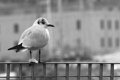 Seagull Watching to Its Right Royalty Free Stock Images