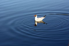 Seagull in the water Royalty Free Stock Images
