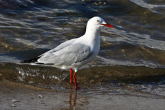 Seagull in Water. A seagull standing in water at the ocean's edge Royalty Free Stock Photos