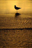 Seagull in the water. Silhouette of a seagull on the beach at sunset Stock Photo