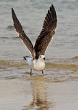 Seagull in the water Royalty Free Stock Photography