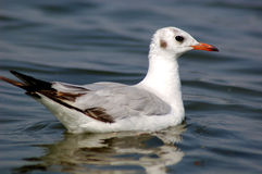 Seagull on water. Stock Image