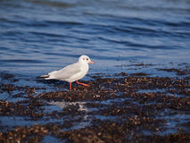 Seagull in the water. Seagull admidst seaweed on the Baltic coast Stock Photo