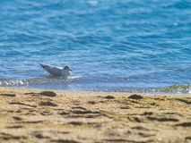 Seagull on the water on the beach Stock Photos
