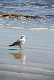 Seagull in Water on Beach with Reflection Royalty Free Stock Photography