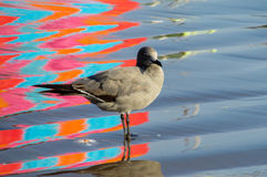 Seagull in water with colorful reflections. Seagull in sea water with colorful reflections stock image