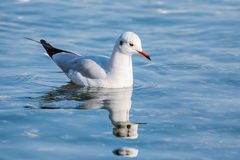 Seagull on Water Royalty Free Stock Photos