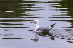 Seagull on the water stock photography