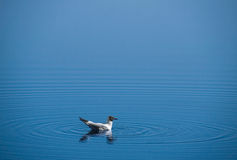 Seagull water Royalty Free Stock Photography