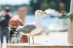 Seagull on water fountain in city. A side view of a seagull standing on water fountain in city Royalty Free Stock Photo