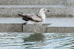 Seagull on water fountain Stock Image