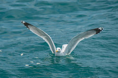 Seagull water landing. Seagull bird with large spread wings is water landing Royalty Free Stock Photo