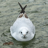 Seagull on the water Royalty Free Stock Photography