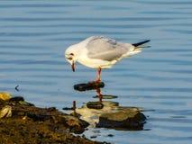 Free Seagull Water Movement Sun Reflection Nature Stock Image - 168166121