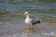 Seagull in a water of North sea. Zandvoort, the Netherlands Stock Photo