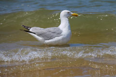 Seagull in a water of North sea. Zandvoort, the Netherlands Royalty Free Stock Images