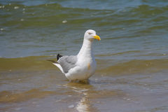 Seagull in a water of North sea in Zandvoort, the Netherlands Stock Photography