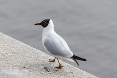 Seagull at the water Stock Photography