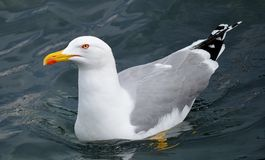 Seagull on water Royalty Free Stock Photo