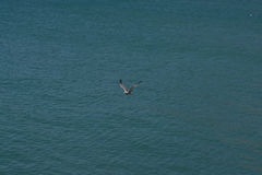 Seagull on the Water Royalty Free Stock Images