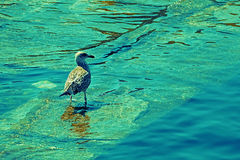 Seagull on Water Stock Image