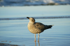 Seagull in water Royalty Free Stock Photography
