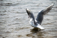 Seagull on water Royalty Free Stock Image