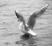 Seagull on water Stock Photo
