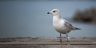 Seagull on the Waterfront. With a background view of the river Stock Image