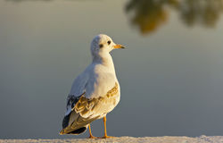 Seagull on the waterfront looking at the setting sun Royalty Free Stock Images