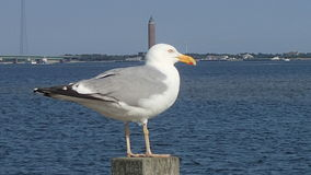 Seagull. By the waters on the south shore of Long Island, NY royalty free stock image