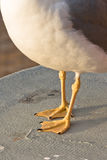 Seagull webbed feet Royalty Free Stock Photography