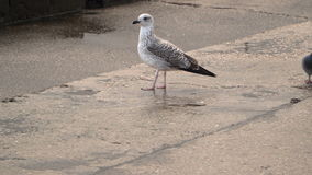 Seagull on a wet concrete embankment stock footage
