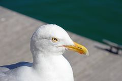Seagull on Weymouth quayside. Stock Photo