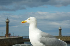 Seagull at Whitby Stock Images