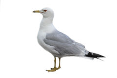 Seagull. A seagull on a white background Royalty Free Stock Images