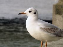 Seagull. White Bird London Royalty Free Stock Photo