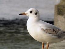 Seagull. White Bird London Royalty Free Stock Photo