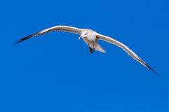 Seagull white  blue sky copy space Stock Photo