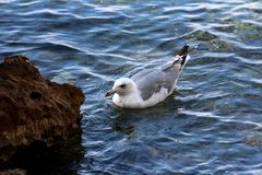 Seagull with white and grey feathers peacefully floating on restless sea next to rocky beach. On warm sunny day royalty free stock image