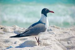 Seagull white sand Royalty Free Stock Photo