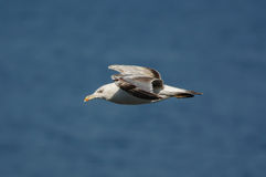 Seagull who is flying over the blue sea Royalty Free Stock Photography