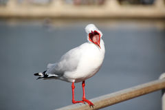 Seagull with Wide Open Beak. The beautiful  white sea gull has opened its red beak so widely  the tongue is clearly seen as it perches on a rail in the estuary Royalty Free Stock Photo