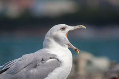 Seagull with a wide opened beak. Black sea Royalty Free Stock Image