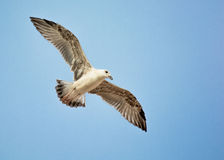 Seagull with Widespread Wings. Flying in the Sky Stock Photo