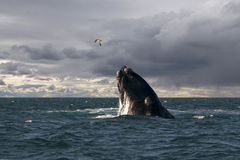 seagull wieloryb obrazy royalty free
